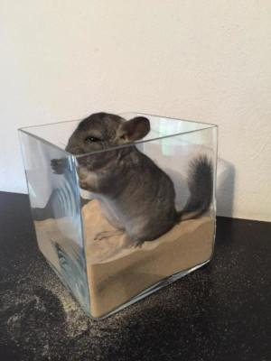 Chinchilla Sandbad