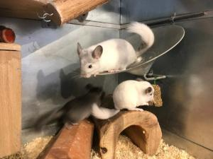 Chinchillas in Gehege