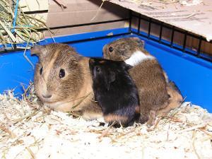 Bild Glatthaarmeerschweinchen mit Jungtieren