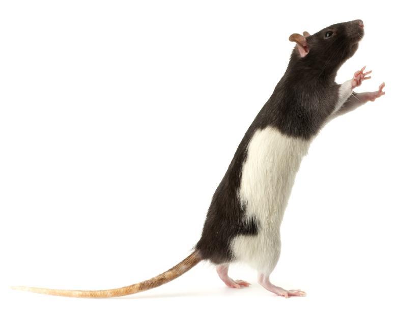 Farbzeichnung Ratte