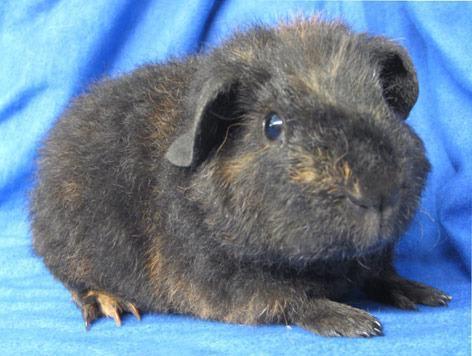 Pig In Guinea Portrait Noi Teddy ZwOXiukPT