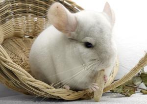 Weißes Chinchilla