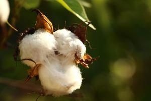 Bild Baumwoll-Pflanze