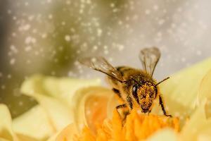 Bild Biene auf Blüte