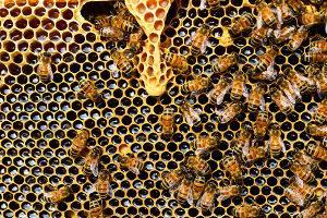 Bild Bienenzucht Honigwabe