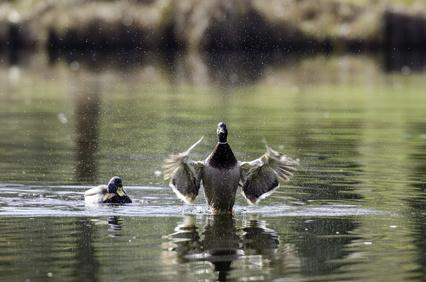 Ententeich mit zwei Enten