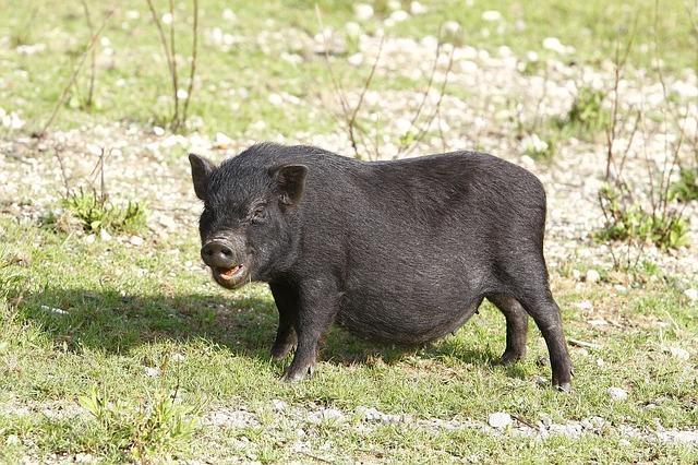 Junges Hängebauchschwein
