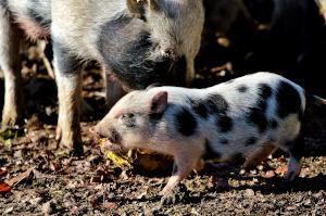 Hängebauchschwein Ferkel