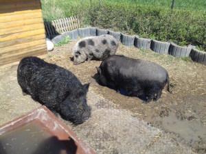 Hängebauchschweine Haltung
