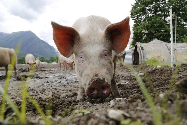 Hausschwein Haltung