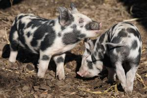 Haltung Hausschweine Ferkel