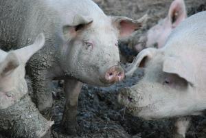 Hausschweine Suhlen