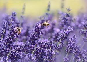 Bild Honigsorten Lavendelfeld mit Biene