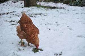 Huhn im Schnee