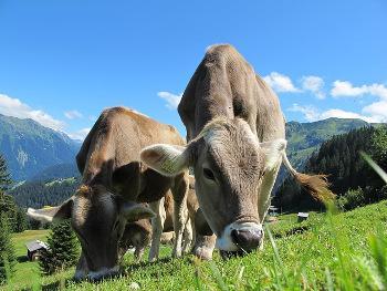Bild Rinder beim Grasen auf der Weide