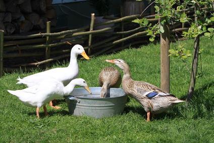 Enten werden zugefüttert.