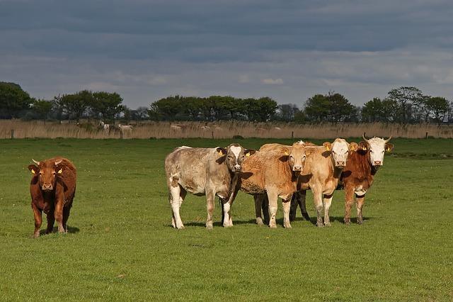 Rinder auf Weide