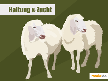 Grafik Schafe Haltung und Zucht