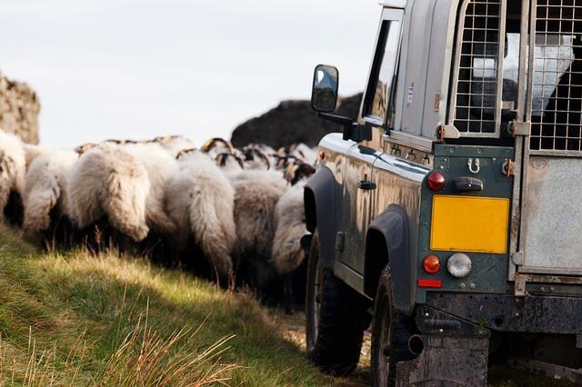 Bild Schafe