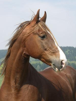 American Saddlebread Pferd / Pferdenamen