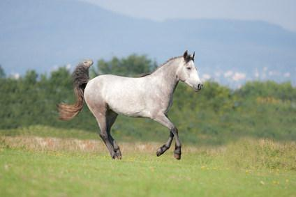 Connemara Pony auf Wiese