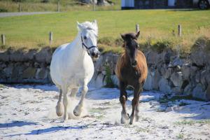 Connemara Pony mit Fohlen