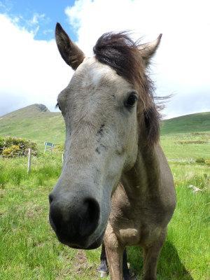 Connemara Pony Kopf