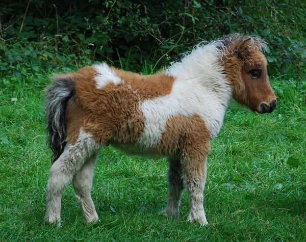 Weißbraun geschecktes Dartmoor Pony auf der Wiese