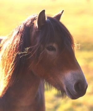 Exmoor Pony Kopf