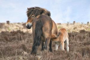 Exmoor Pony Stute mit Fohlen