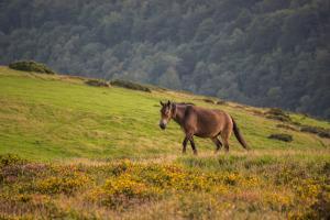 Exmoor Pony in der Wildnis