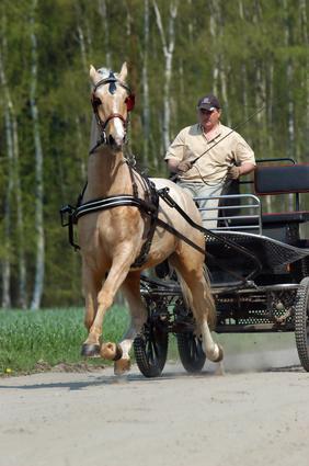 Gelderländer Pferd, das eine Kutsche zieht