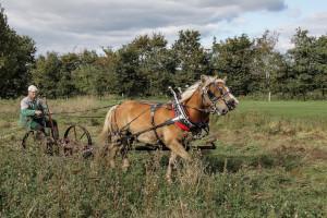 Haflinger als Arbeitspferd
