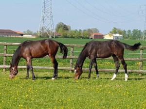 Holsteiner Junghengste auf der Weide
