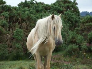 Deutsches reitpony lebenserwartung Pferderasse Deutsches