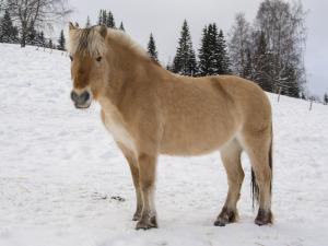 Norwegisches Fjordpferd im Schnee