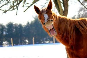 Bild Pferd lacht