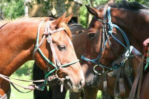 Pferde mit Strick und Halfter