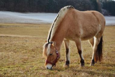 Pferd beim Grasen