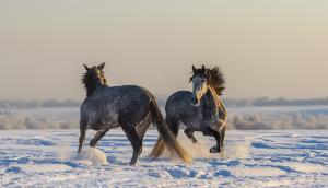 Bild Pferde im Schnee / Kalenderbild
