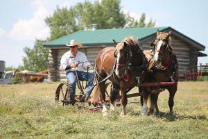 Bild zwei Pferde mit Geschirr und Reiter