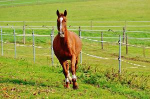 Pferd Koppel