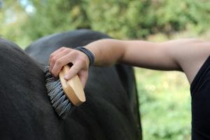 Bild Pferd putzen
