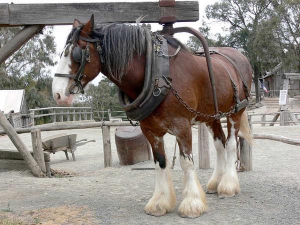 Shire Horse Zugpferd