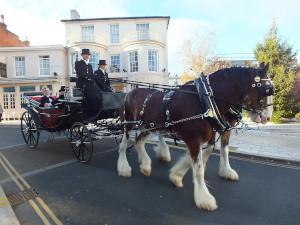 Shire Horse vor Kutsche