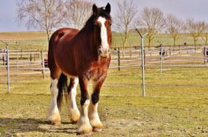 Shire Horse Sabinozeichnung