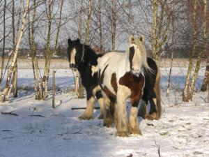Tinker Schecken im Schnee