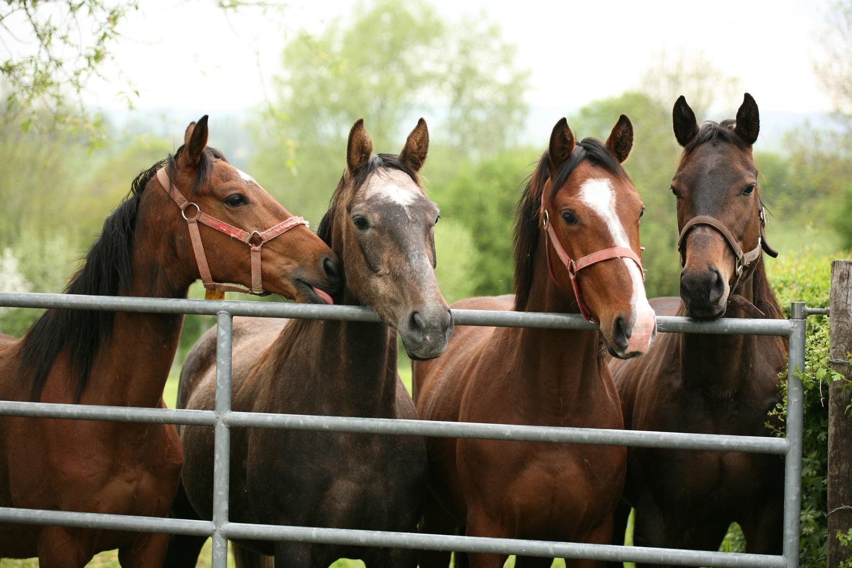 Bild Vier Pferde am Zaun