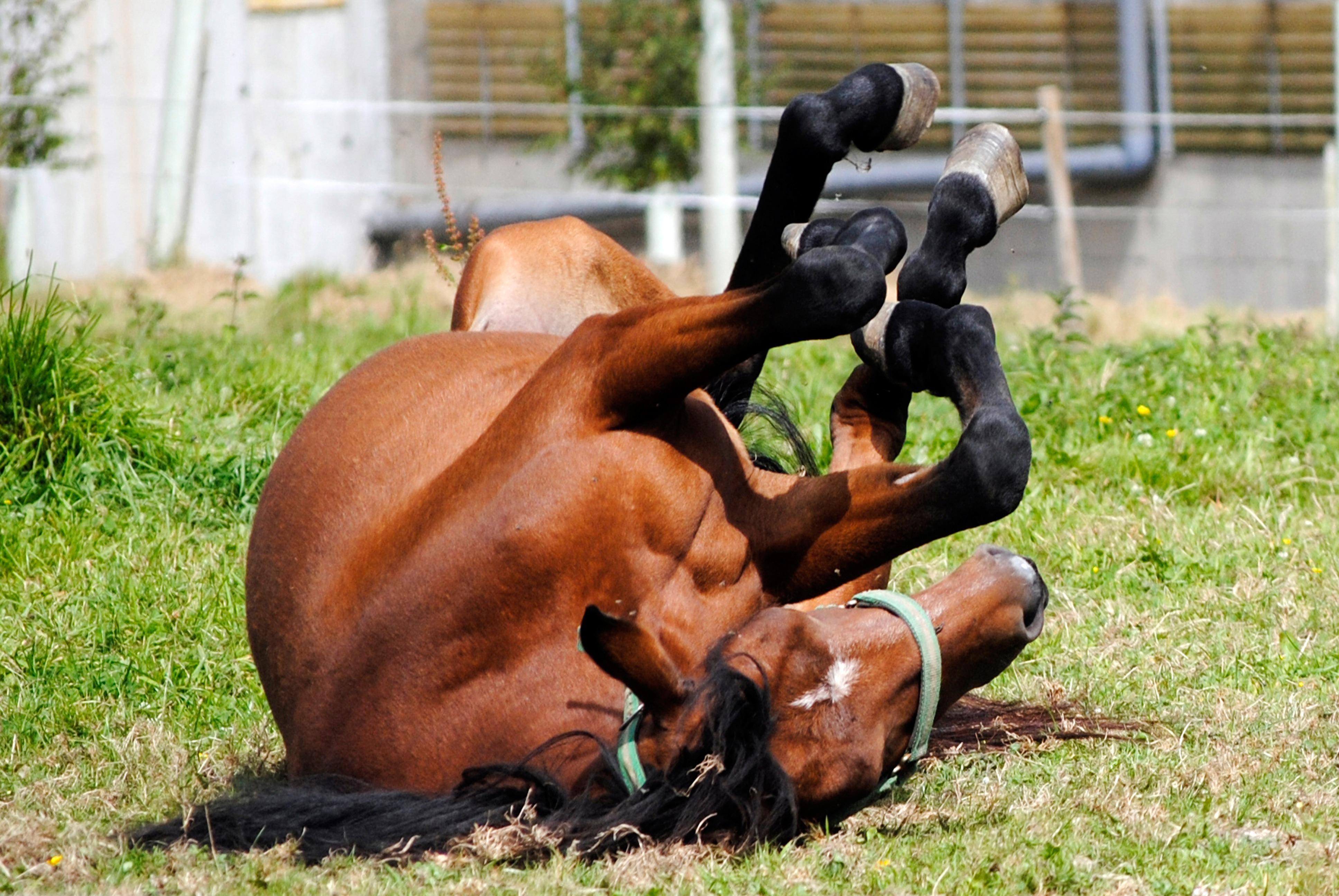 Bild wälzendes Pferd