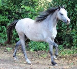 Welsh Mountain Pony Stute Schimmel Sektion A